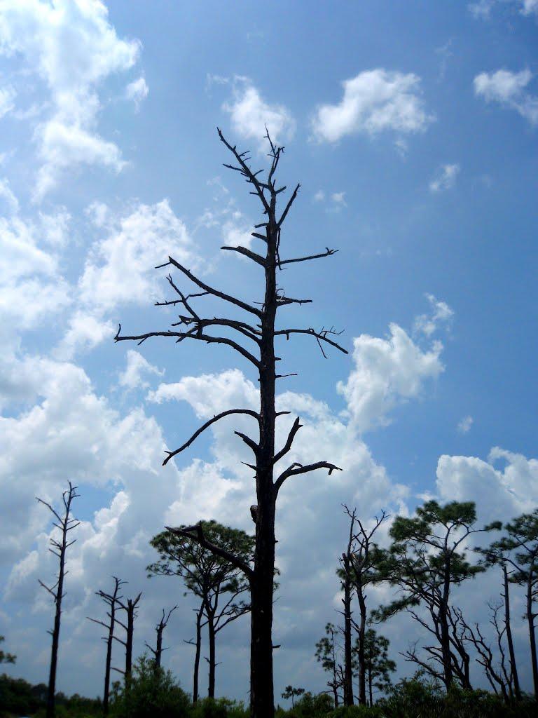Dead Pine Tree Fielder Tree Service